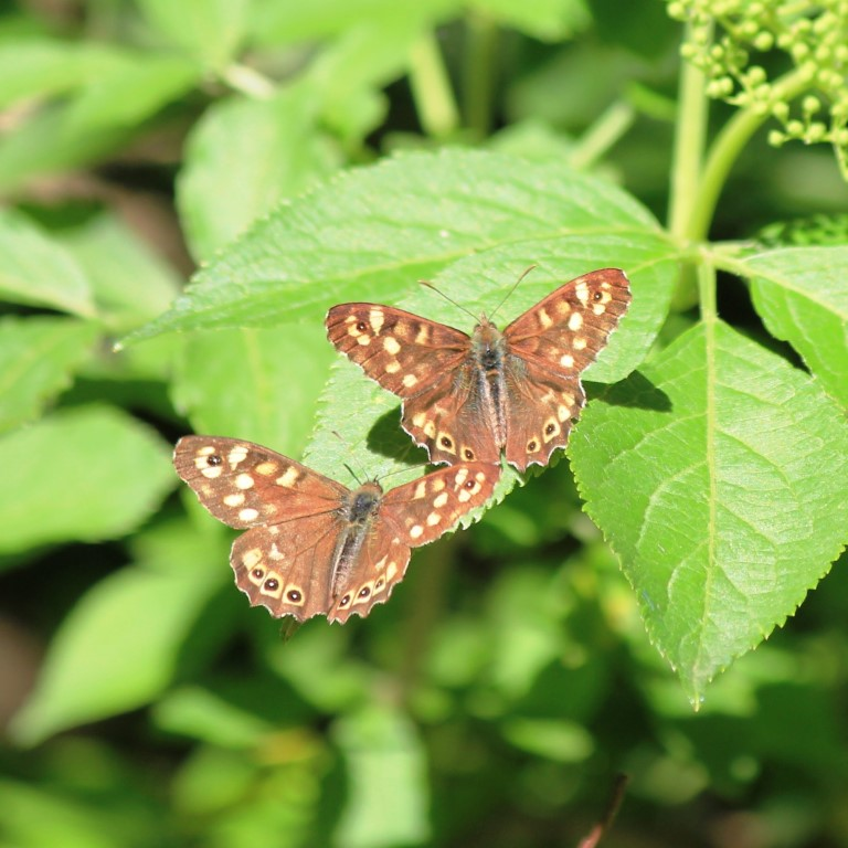 speckled wood butterflies